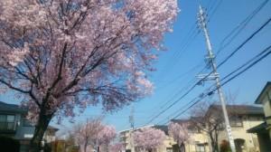 滝ノ水の桜