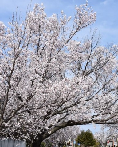 滝ノ水桜並木