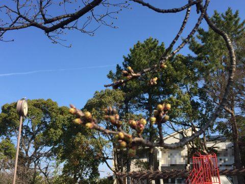 作の山町の桜