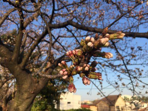 作の山町の桜2